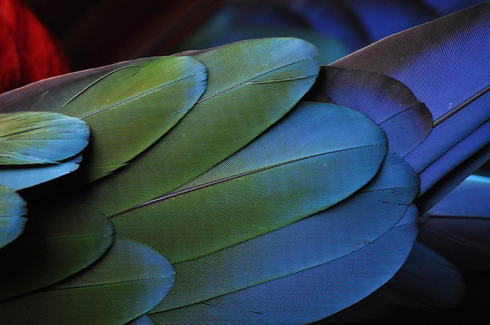 Amazon parrot feathers
