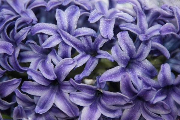 Blue hyacinth Florets