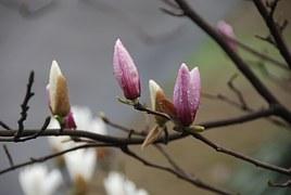 Magnolia in bud