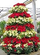 A poinsettia Christmas tree