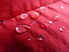 Raindrops on a poinsettia leaf