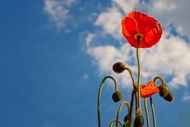 Poppy flower stems