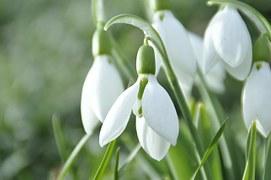 Pretty snowdrop flower heads