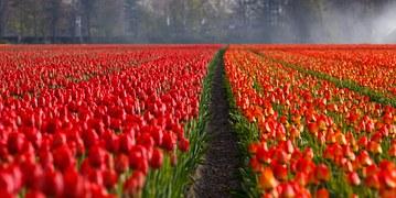 Tulip fields make a stunning display