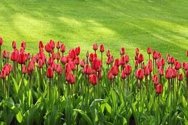 Tulips in a garden border